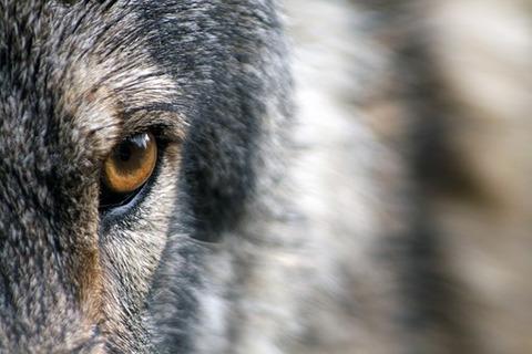 wolf-1352242__340