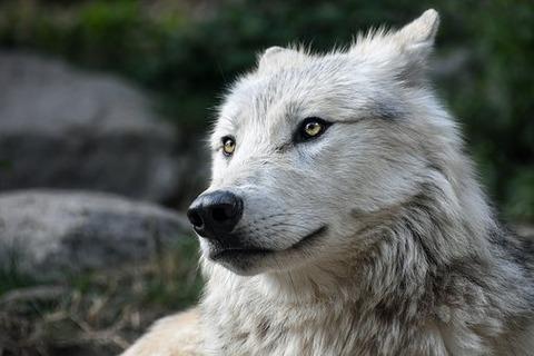 wolf-2826741__340