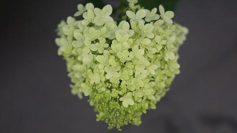 hydrangea-flowers-4369187__340