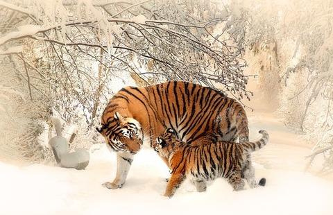 tiger-591359__340