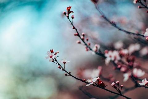 cherry-blossom-1209577__340