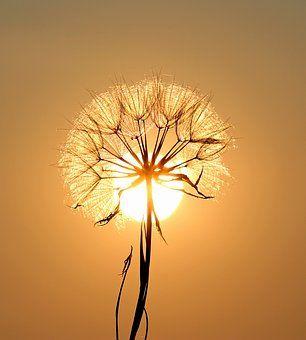 dandelion-1557110__340