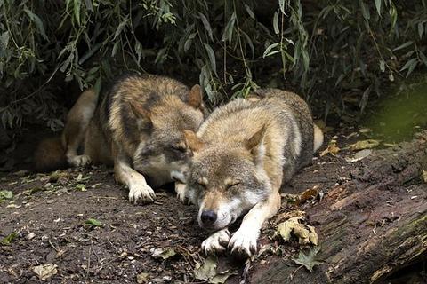 wolf-1384944__340