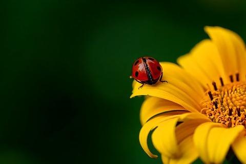 ladybug-3475779__340