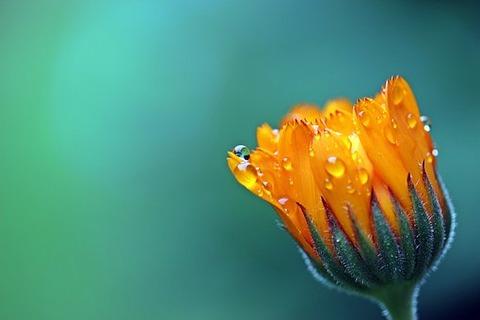 marigold-1568646__340
