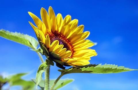 sun-flower-1536088__340