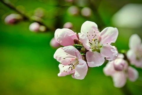 peach-blossom-3301833_640