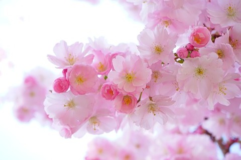 japanese-cherry-trees-324175__340