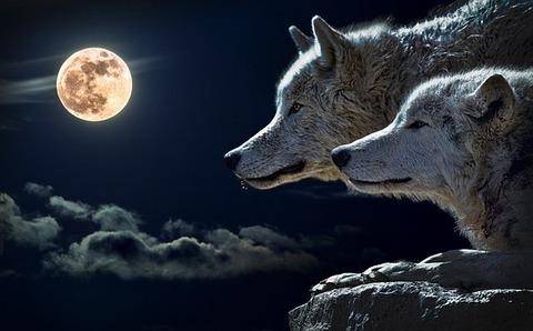 wolf-547203__340