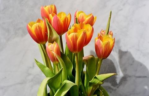 tulip-3287174__340